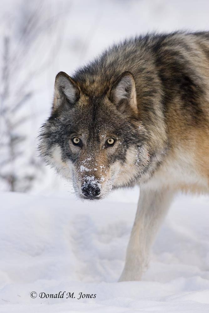 Wolf0400D