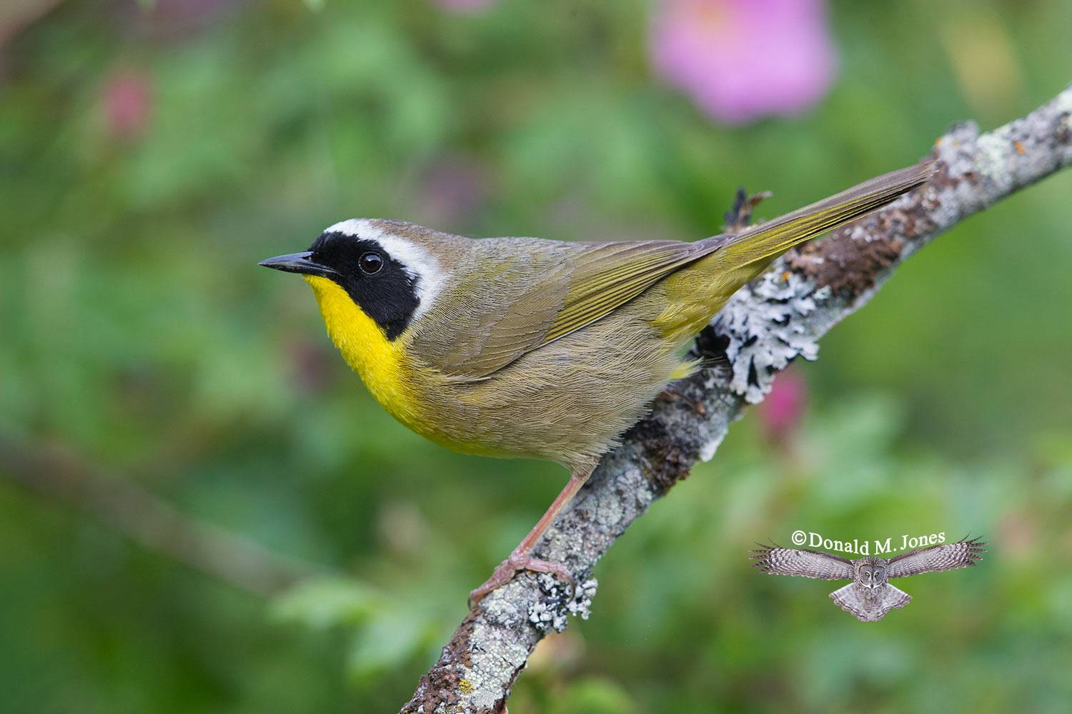 Common-Yellowthroat0185D
