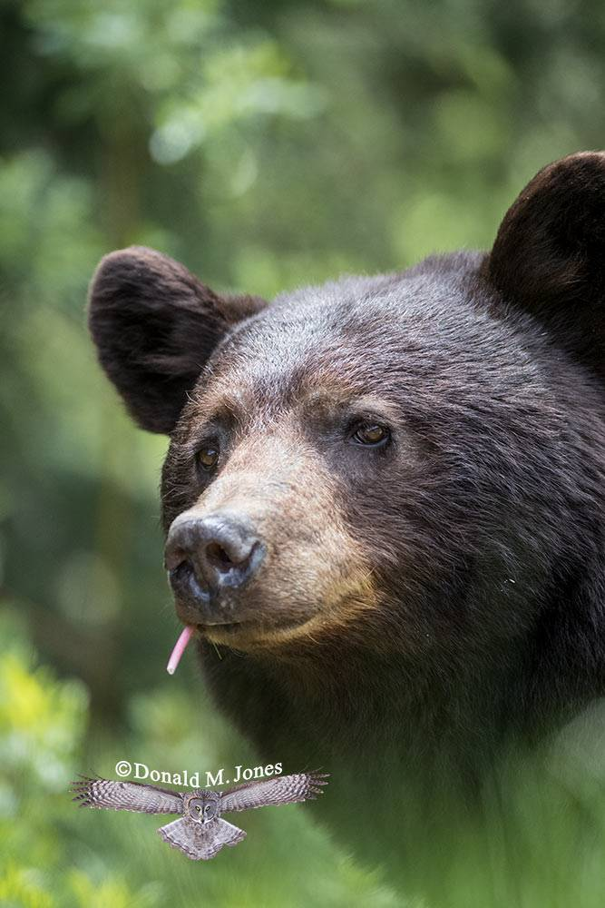 Black-Bear07710D