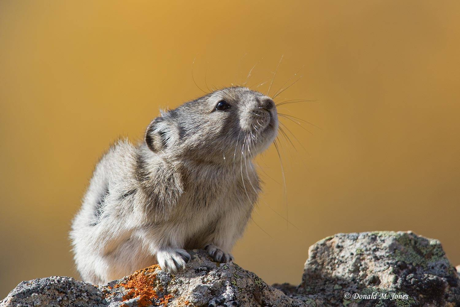 Collared-Pika0110D