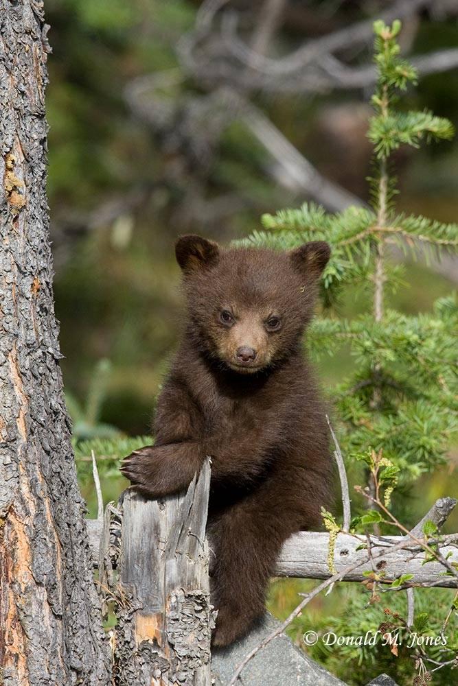 Black-Bear04642D