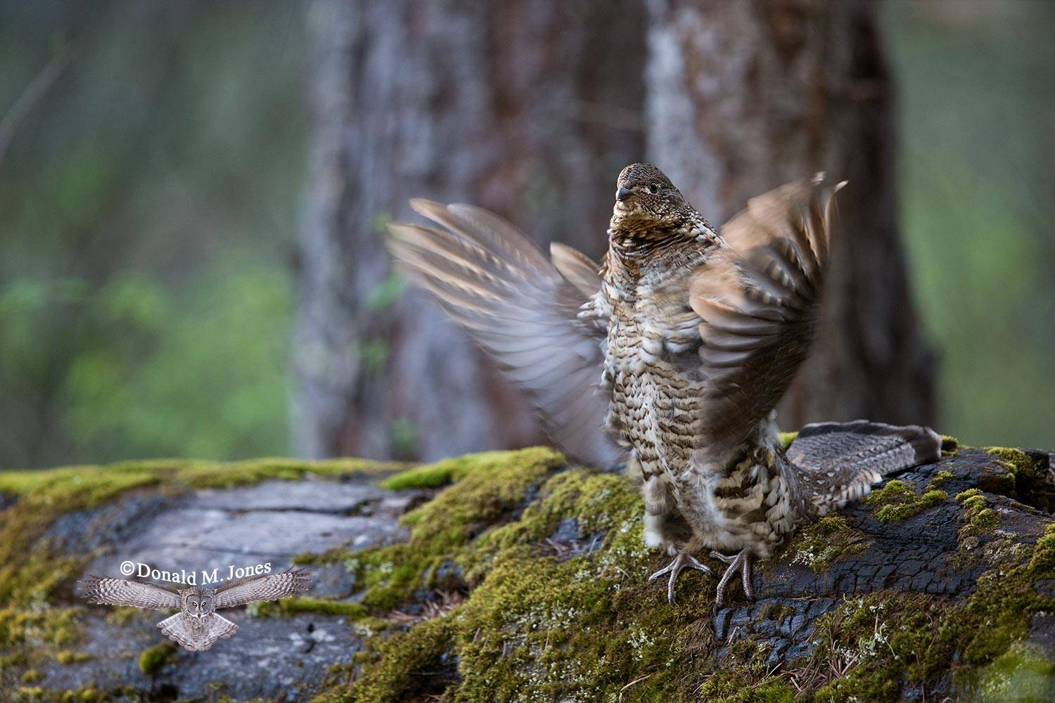Ruffed-Grouse0455D
