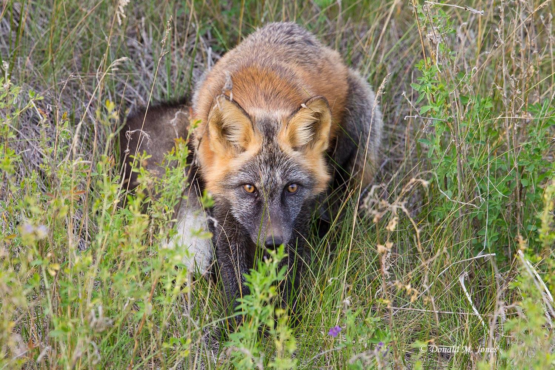 Red-Fox1081D