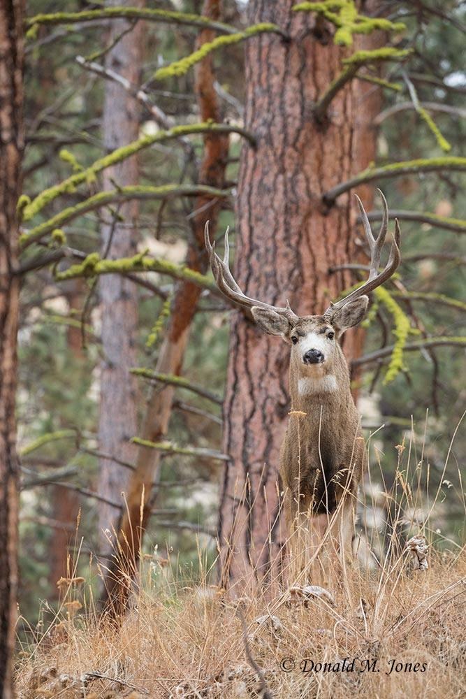 Mule-Deer11827D