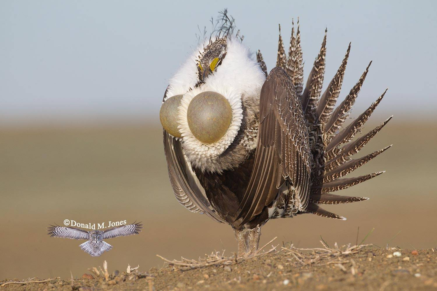 Greater-Sage-Grouse0847D