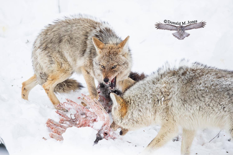 Coyote2738D