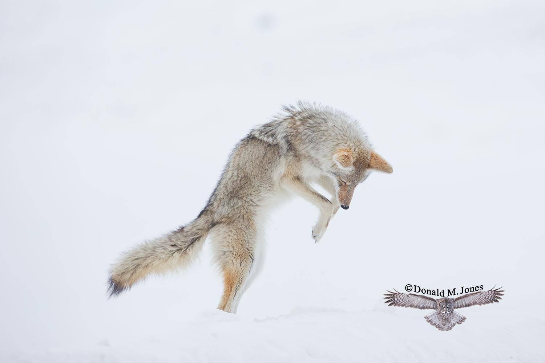 Coyote02420D
