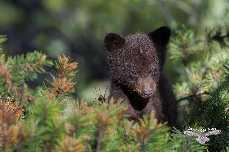 Black-Bear07806D