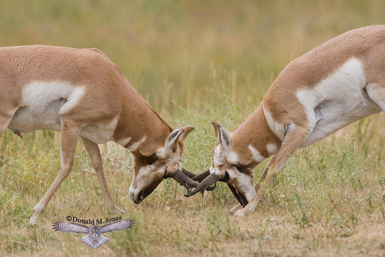 Pronghorn-Antelope03143D