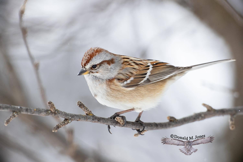 American-Tree-Sparrow0170D