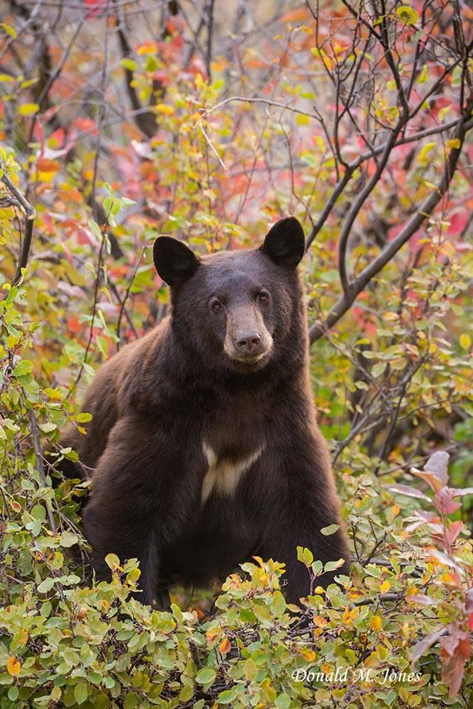 Black-Bear08180D
