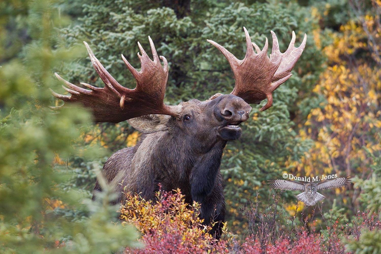 Moose03735D