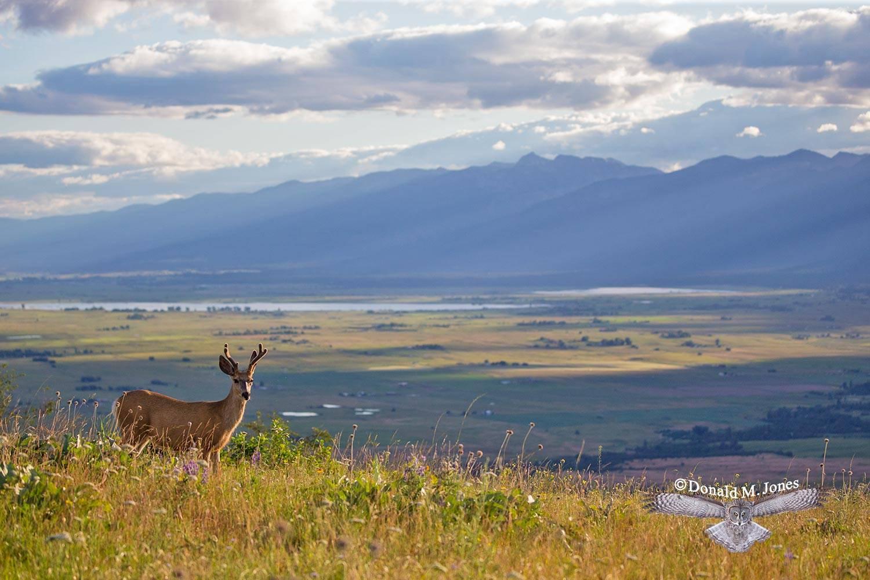 Mule-Deer10994D