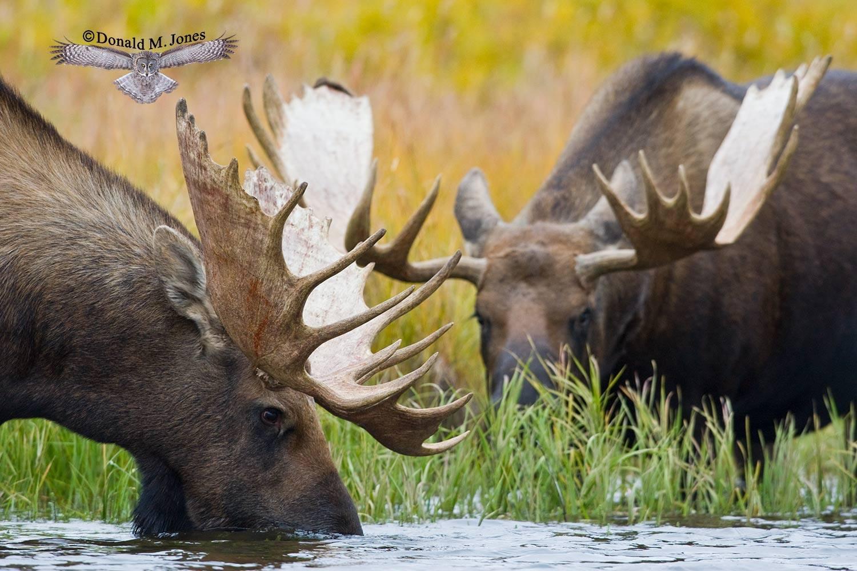 Moose03238D
