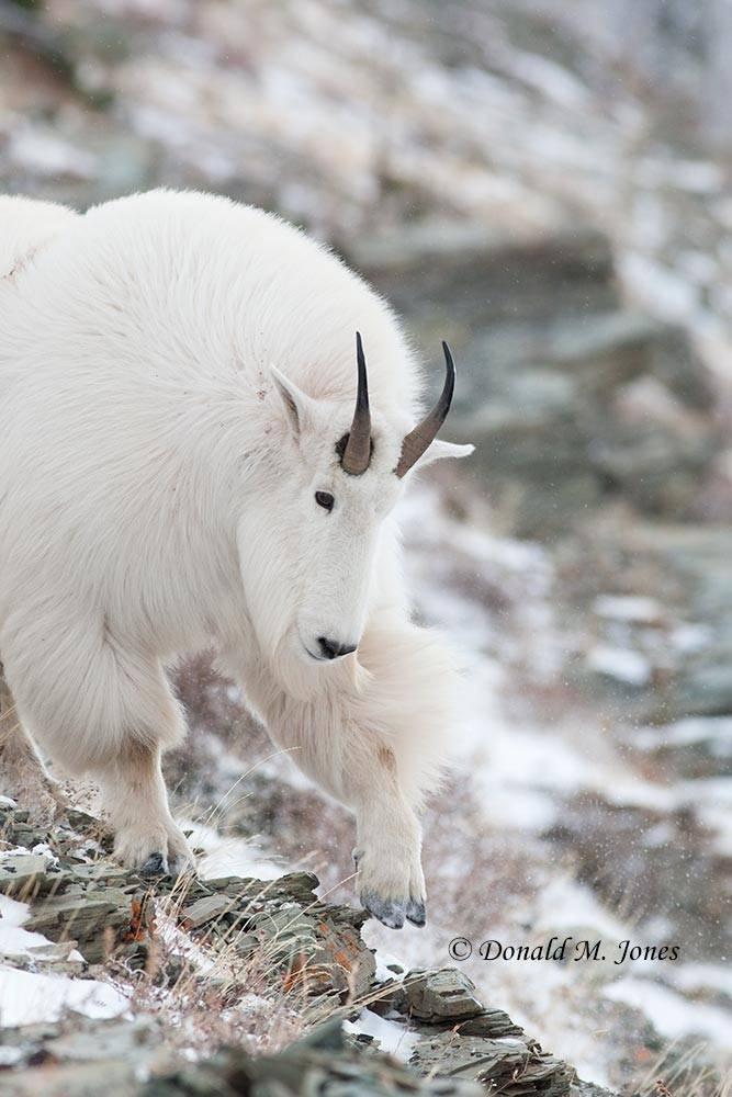 Mountain-Goat02272D