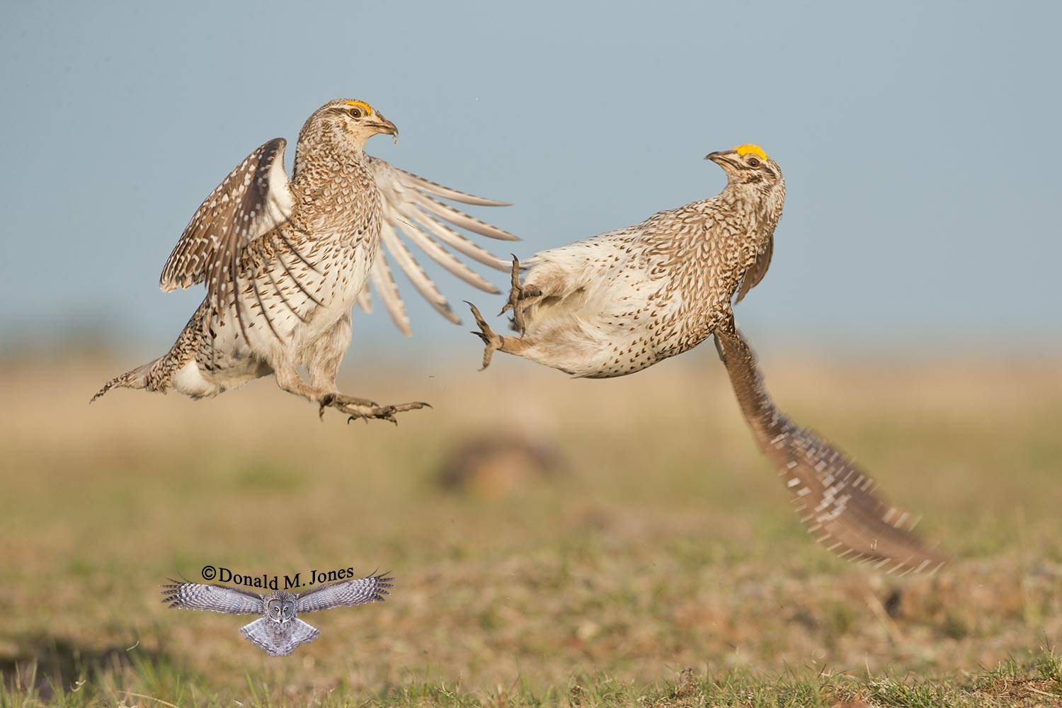Sharp-tailed-Grouse0666D