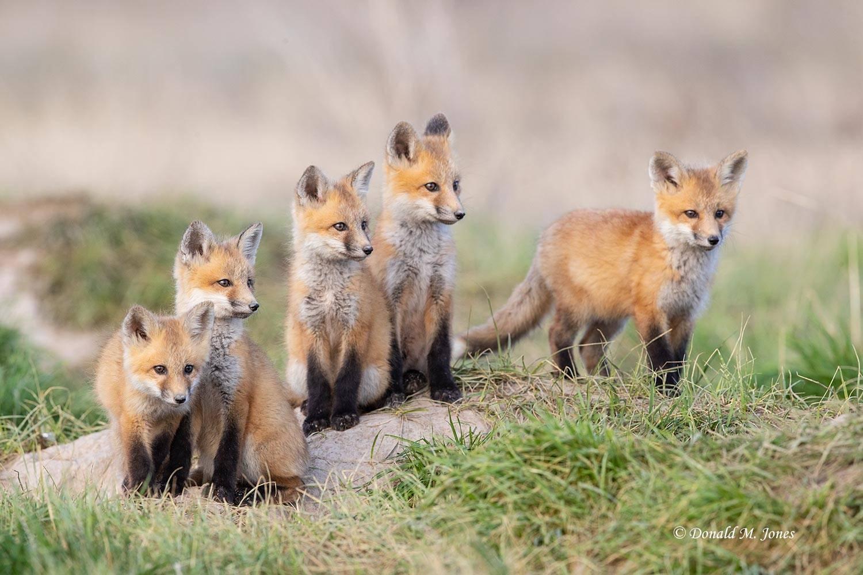 Red-Fox1384D