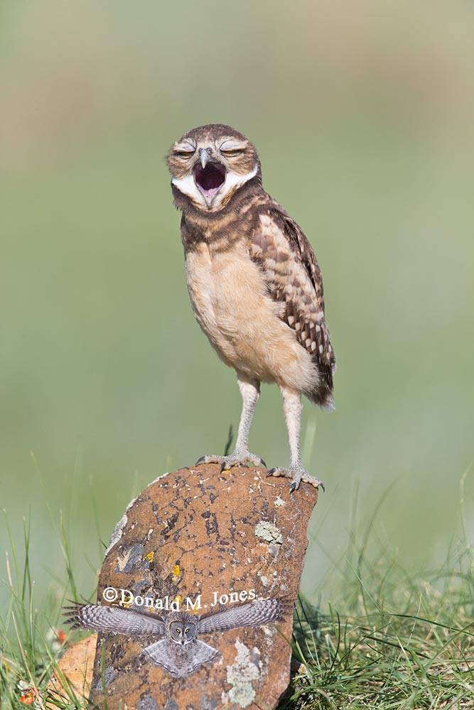 Burrowing-Owl0772D
