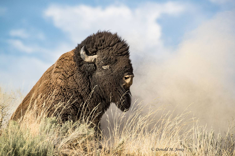 American-Bison02059D