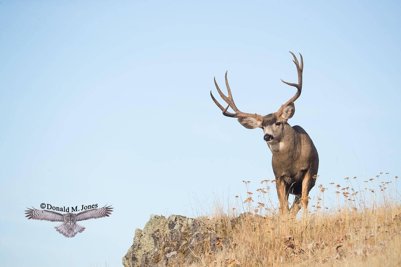 Mule-Deer10689D