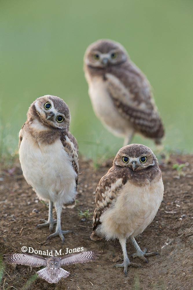 Burrowing-Owl0722D