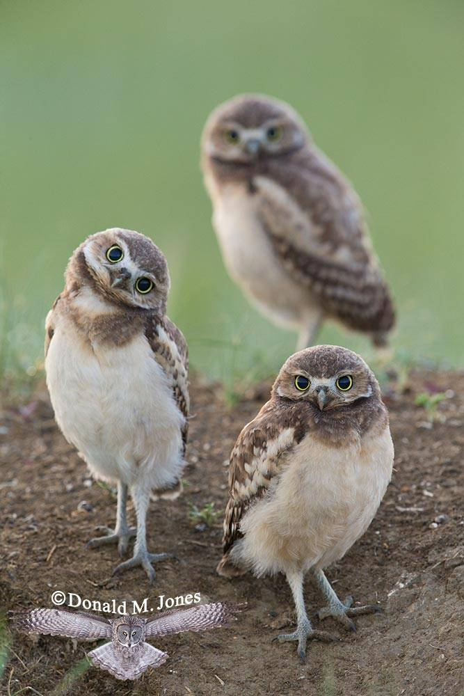 Burrowing-Owl0722D
