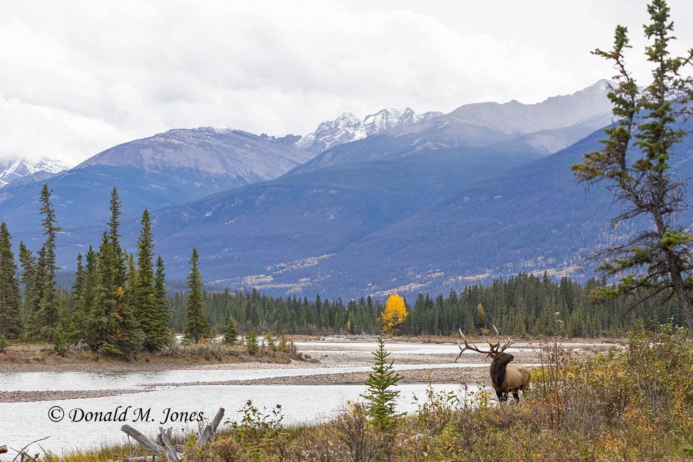 Elk-(Rocky-Mtn)28703D