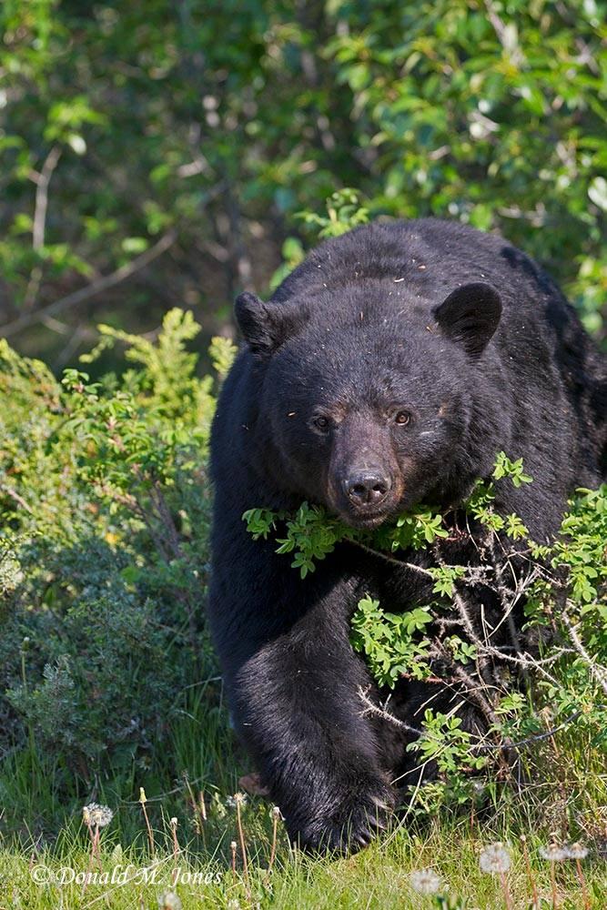 Black-Bear07138D