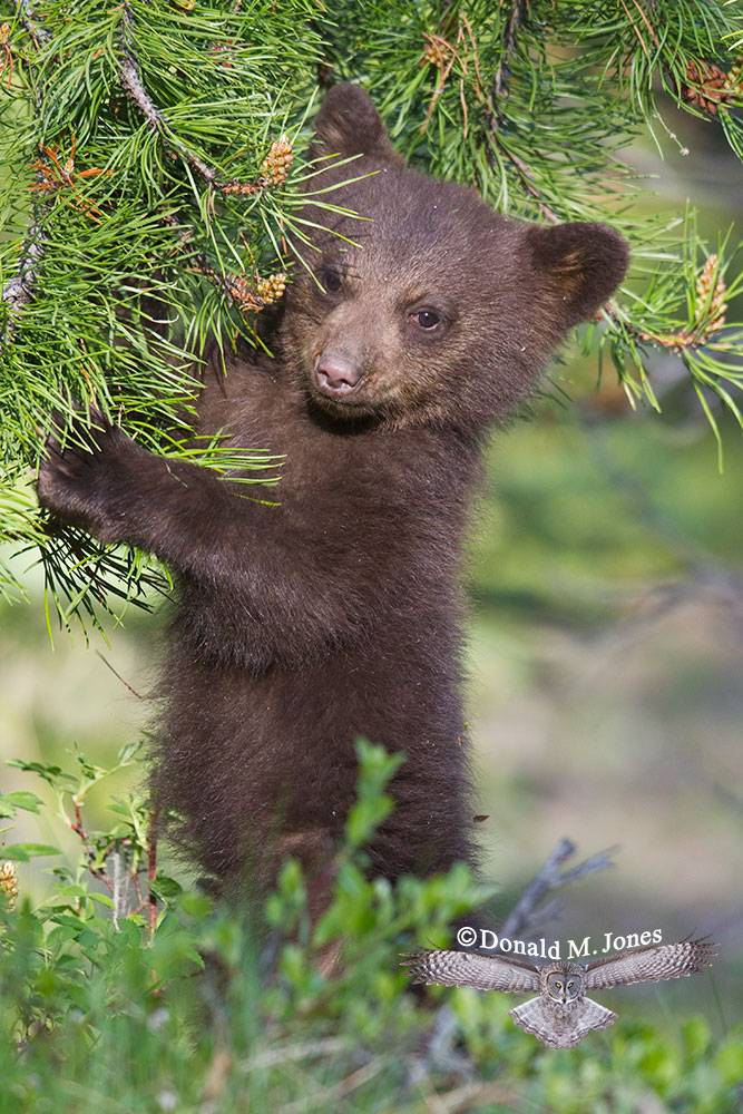 Black-Bear05772D