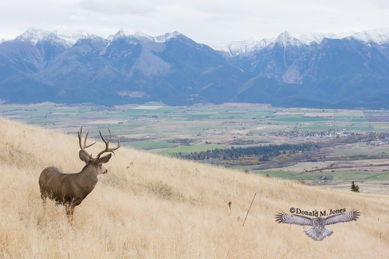 Mule-Deer10544D