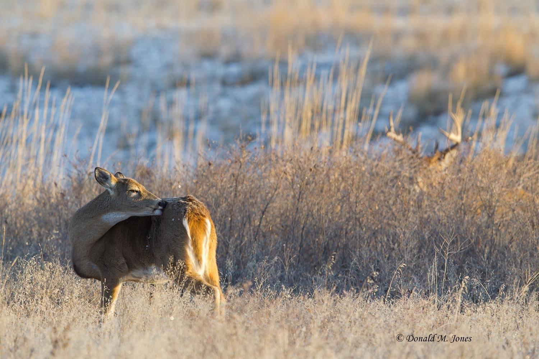 Whitetail-Deer49080D.