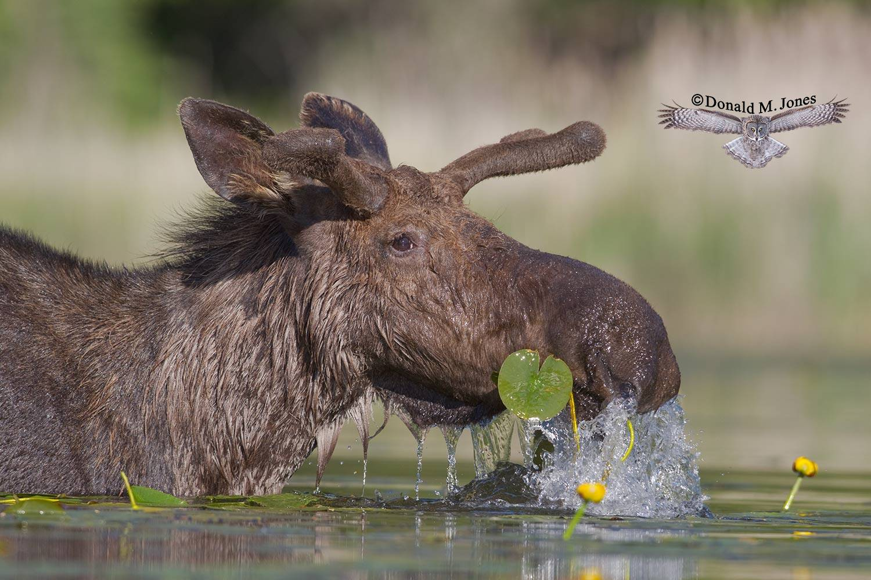 Moose03537D