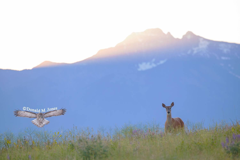 Whitetail-Deer57284D
