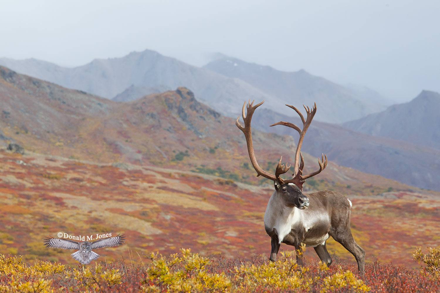 Barren-Ground-Caribou02519D