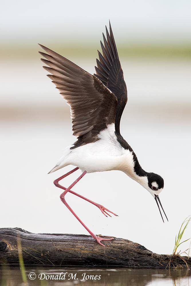May 31, Black-neck Stilt