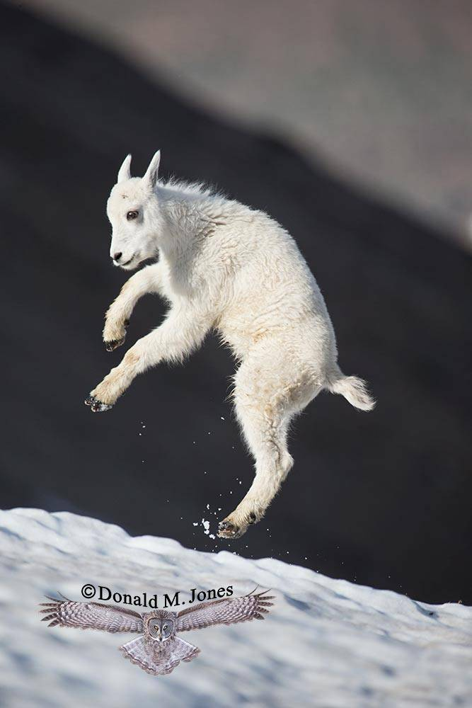 Mountain-Goat02721D