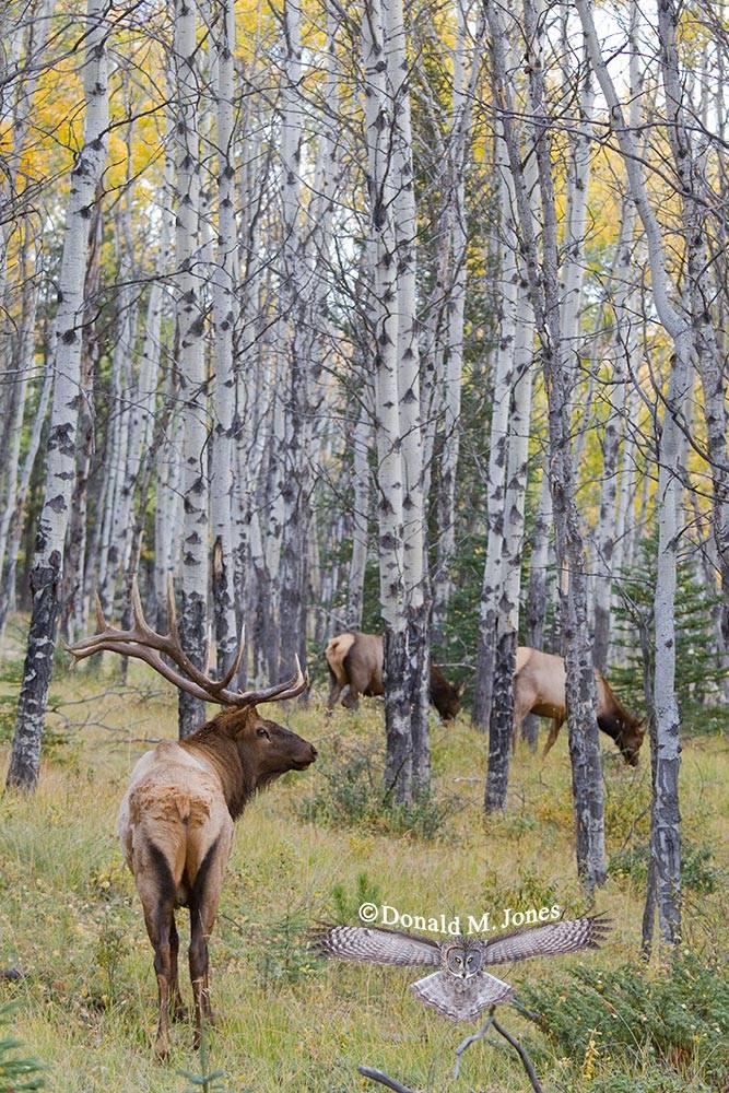Elk-(Rocky-Mtn)16643D
