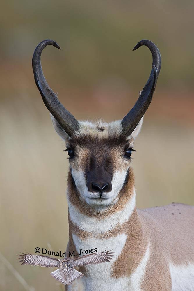 Pronghorn-Antelope02919D