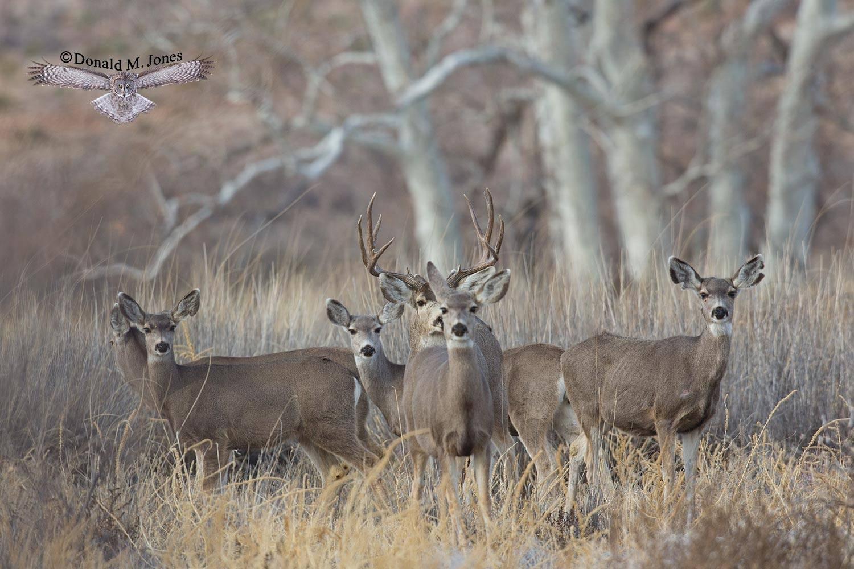 Mule-Deer08795D