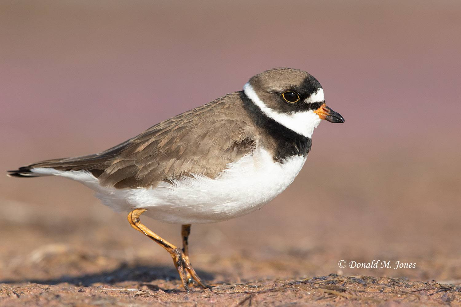 May 15, Semipalmated Plover