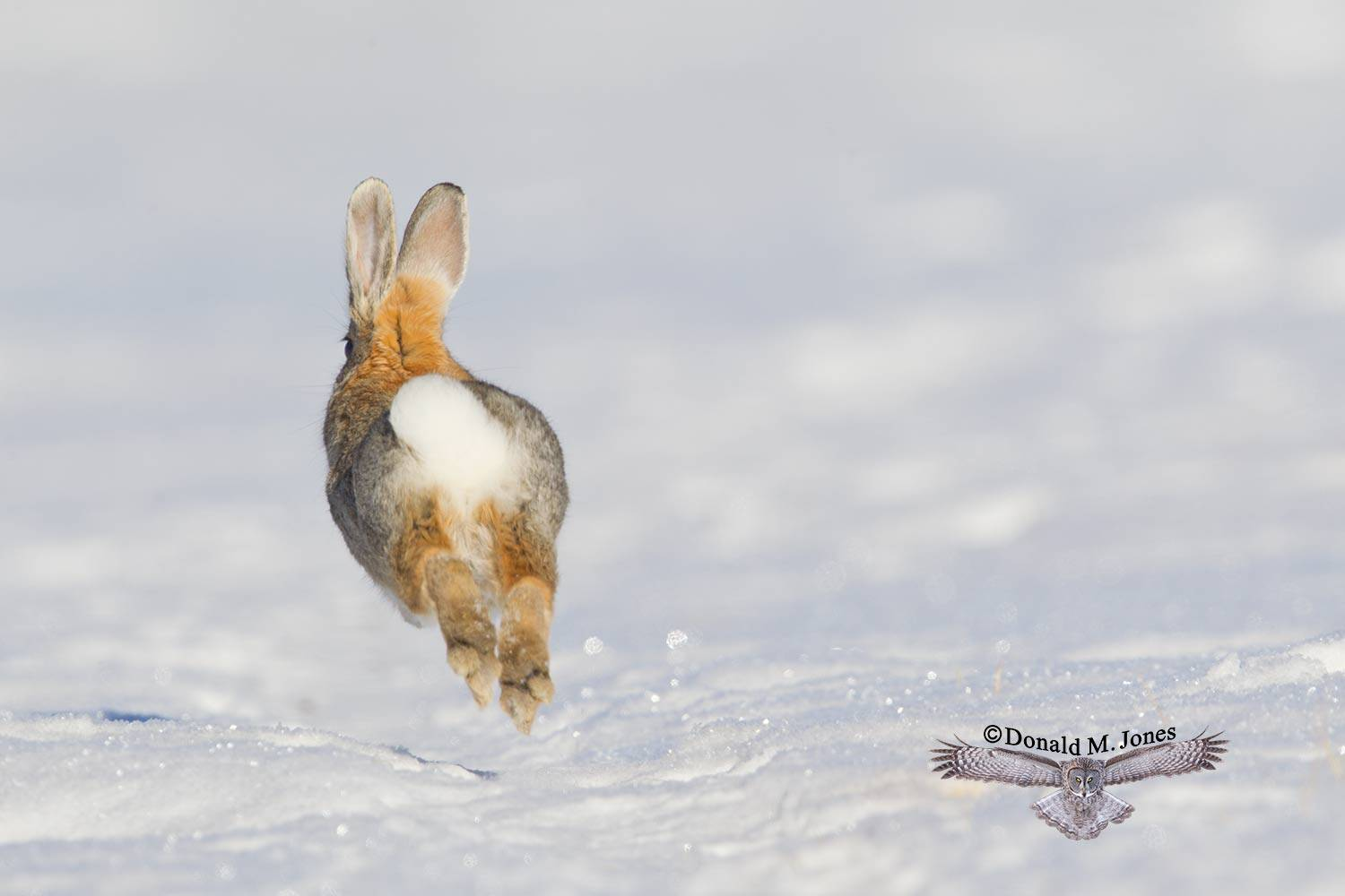 Mountain-Cottontail0136D