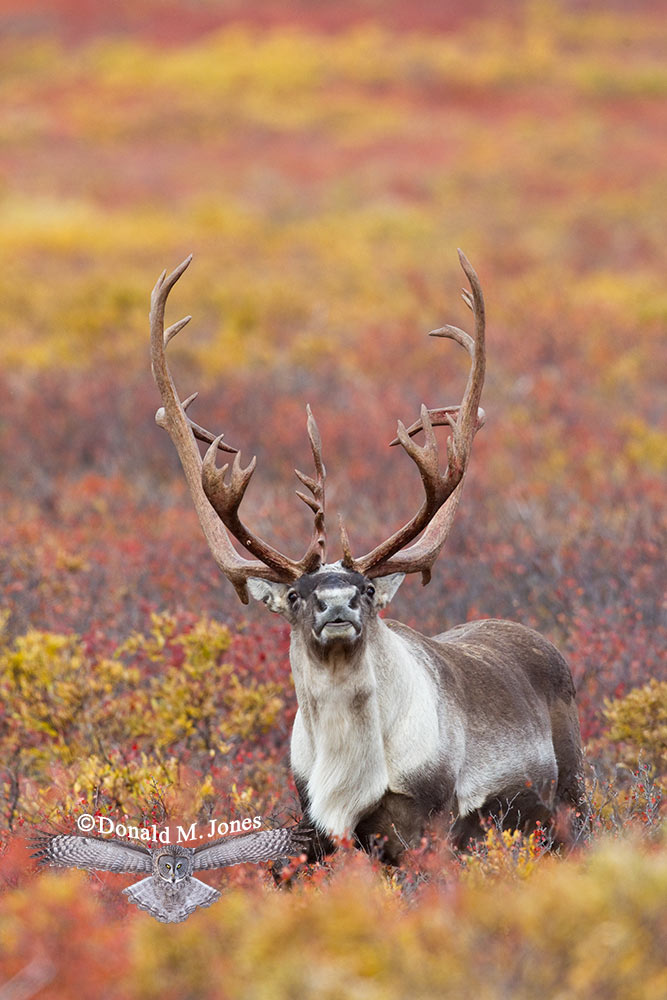 Barren-Ground-Caribou02416D