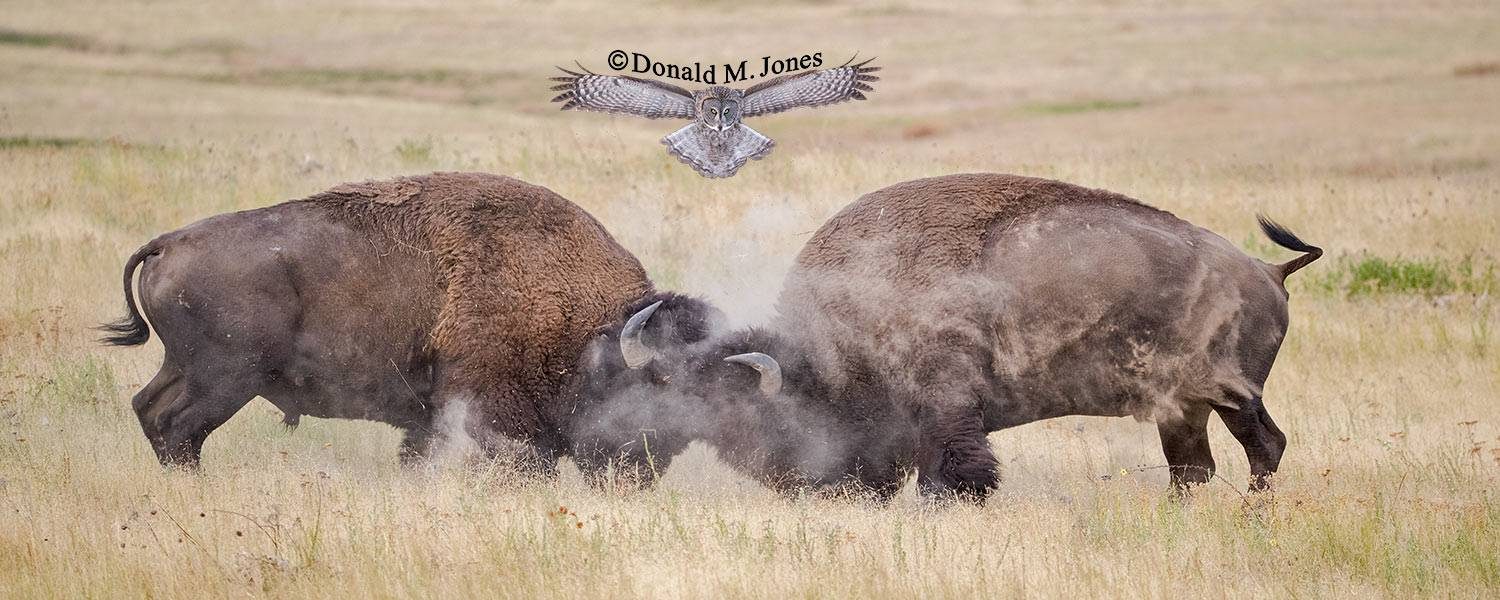 American-Bison02595D