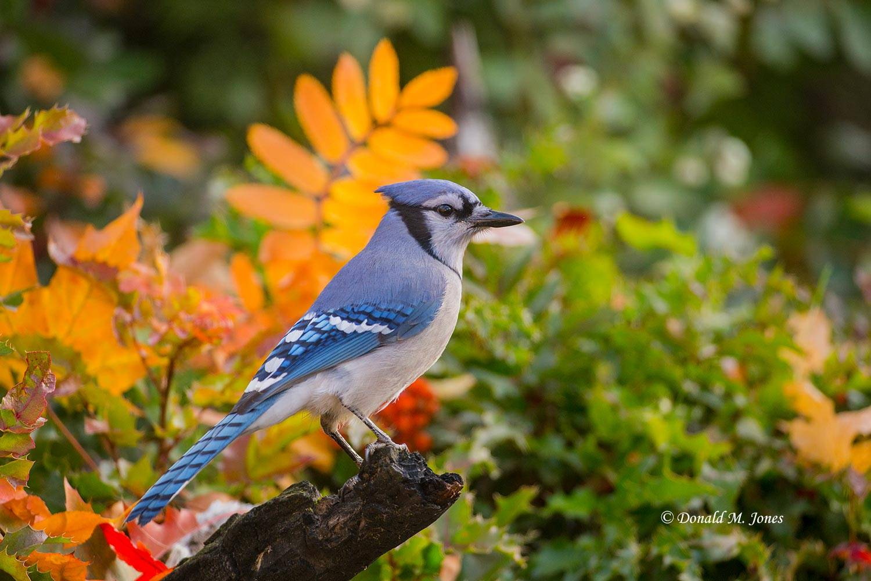 Blue-Jay0305D