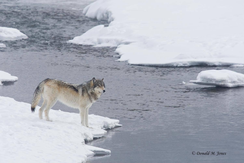 Wolf0555D