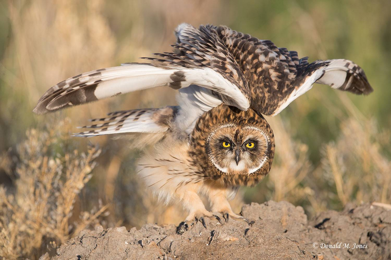 Short-eared-Owl0521D