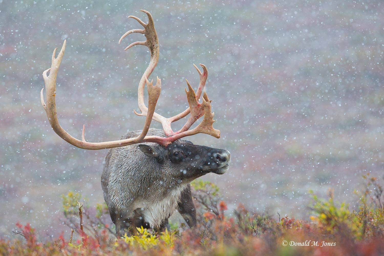 Barren-Ground-Caribou02651D