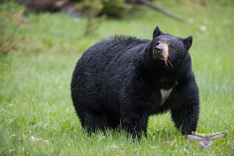 Black-Bear08001D