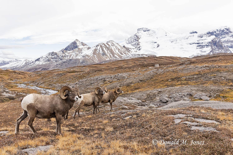 Bighorn-Sheep06649D
