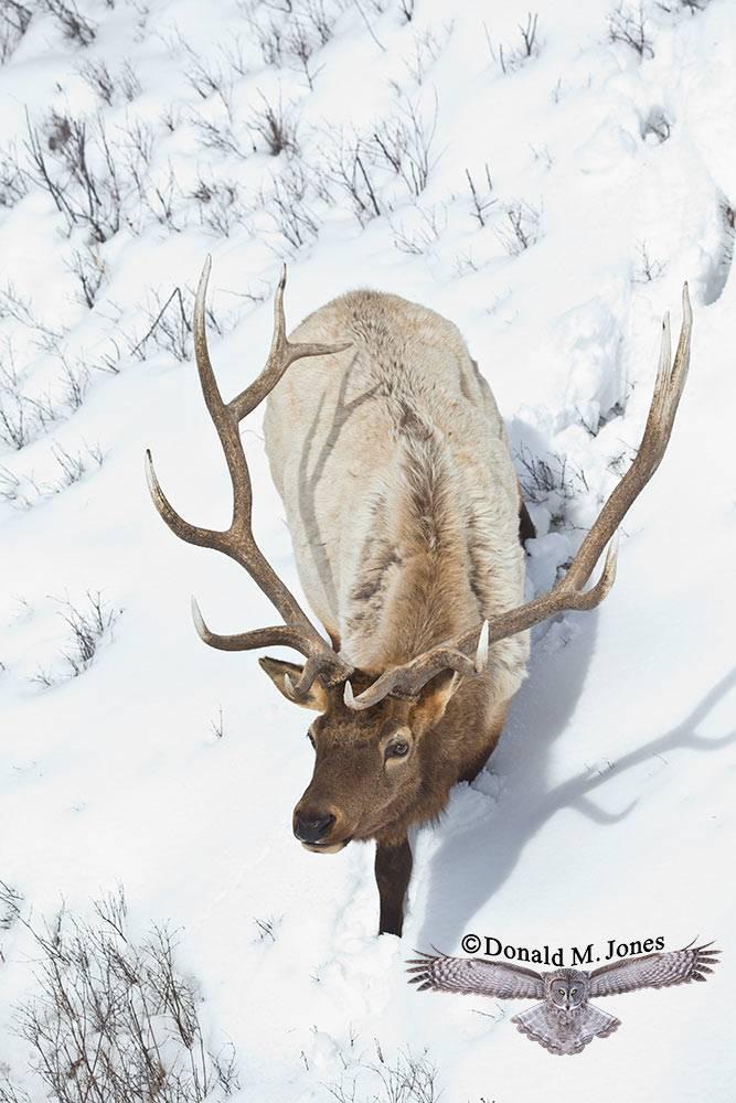 Elk-(Rocky-Mtn)19378D